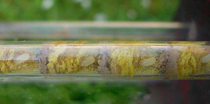 Glasröhrchen mit Wildbieneneiern